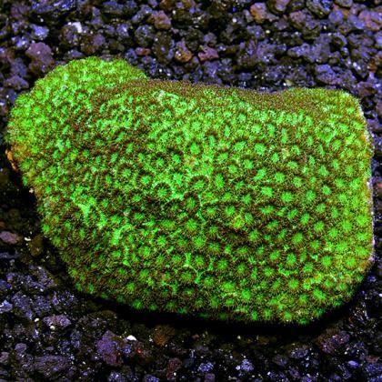 Versiopora Pineapple Brain Coral
