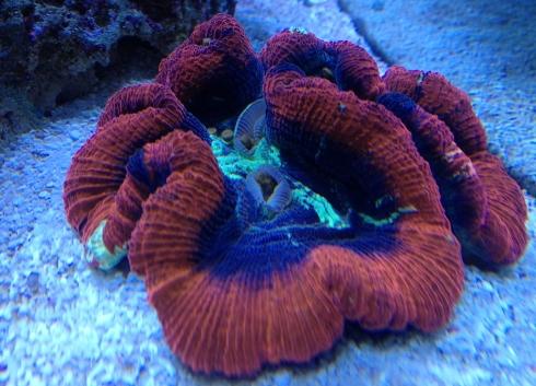 Wellso Folded Brain Coral