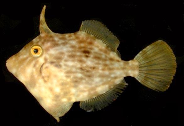 6 Jenis Ikan Hias Filefish Yang Unik