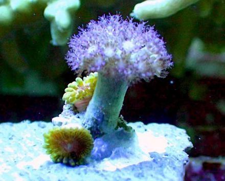 Asterospicularia Coral (Asterospicularia sp.)