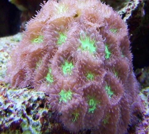 Australian Big Polyp Blastomussa Coral (Blastomussa wellsi)