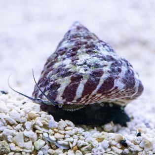 Banded Trochus Snail (Trochus sp.)