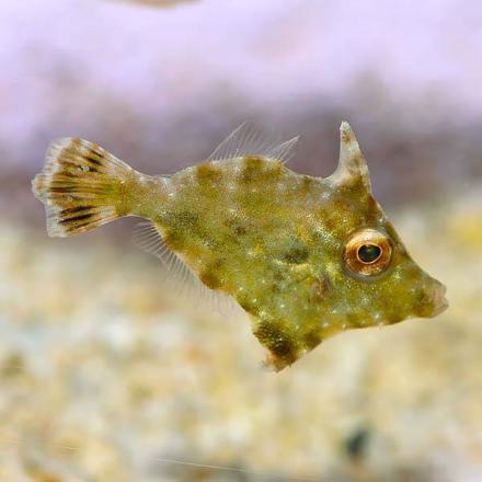 Bristle-tail Filefish (Acreichthys tomentosus)