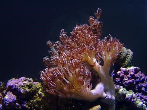 Heteroxenia Polyp (Heteroxenia sp.)