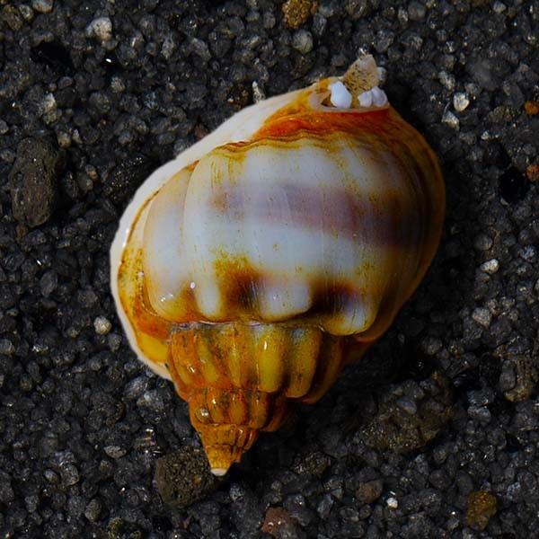 Nassarius Snail (Nassarius sp.)
