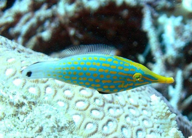 Orange Spotted Filefish (Oxymonacanthus longirostris)