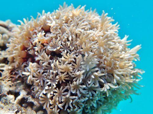 Pipe Organ Coral (Tubipora musica)