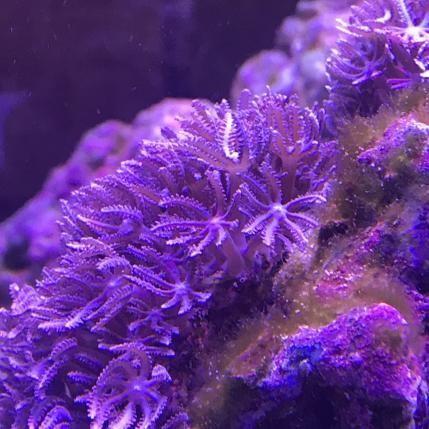 Purple Anthelia Coral (Anthelia sp.)