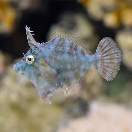 Radial Filefish (Acreichthys radiatus)