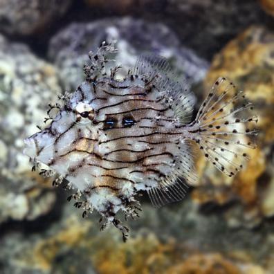 Tassle Filefish (Chaetodermis penicilligerus)