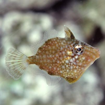 Whitespotted Pygmy Filefish (Rudarius ercodes)