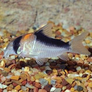 Adolfoi Corydoras Catfish (Corydoras aldolfoi)