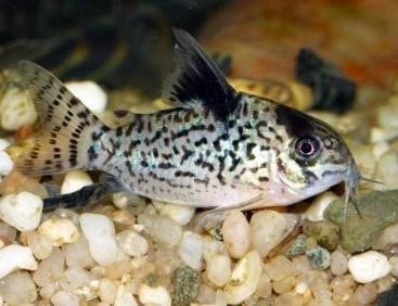 Agassizi Corydoras Catfish (Corydoras agassizii)