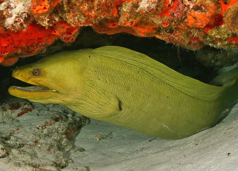 Bentuk Fisik Moray Eel