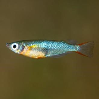 Daisy's Blue Rice Killifish (Oryzias woworae)
