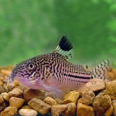 False Julii Corydoras Catfish (Corydoras sp.)