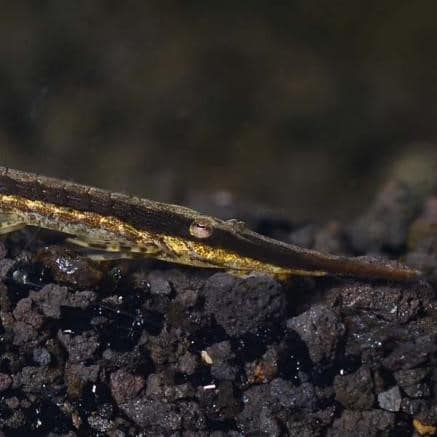Farlowella Catfish (Farlowella acus)