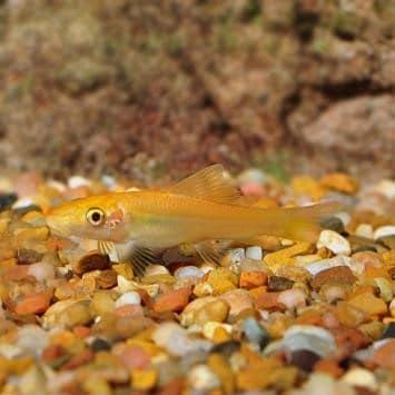 Gold Algae Eater (Gyrinocheilos aymonieri)