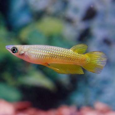 Golden Wonder Killifish (Apolcheilus lineatus)
