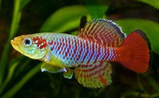 Guentheri Killifish (Nothobranchius guentheri)