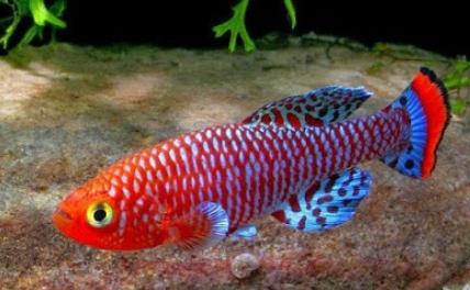 Jenis Ikan Killifish Yang Sering Dipelihara Penghobi Aquascape
