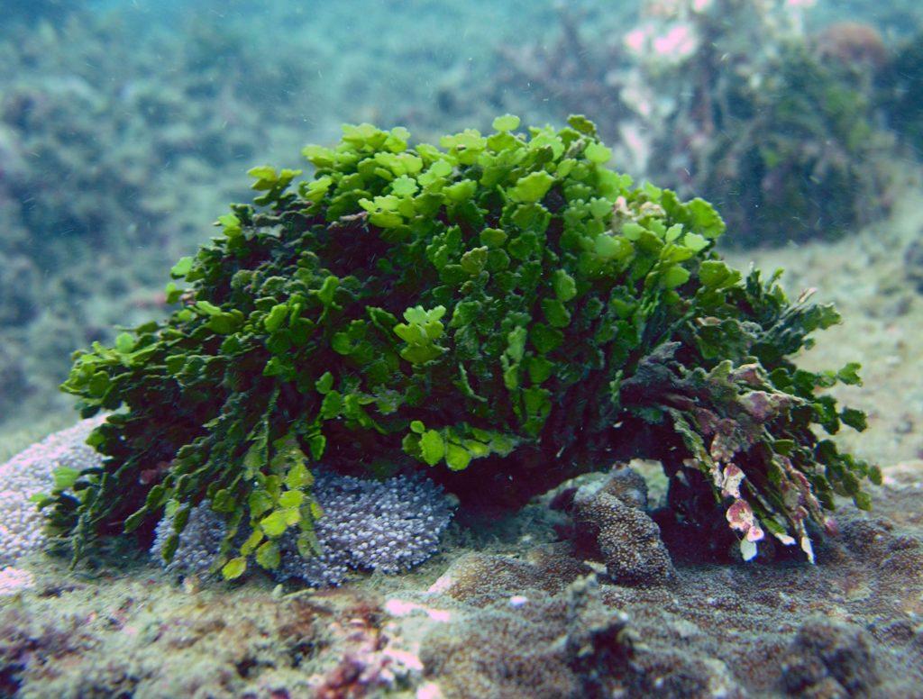 Jenis Tumbuhan Laut Alga Yang Bisa Dipelihara Dalam Aquarium