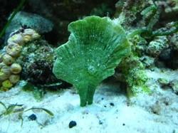 Mermaid Fan Plant (Udotea sp.)