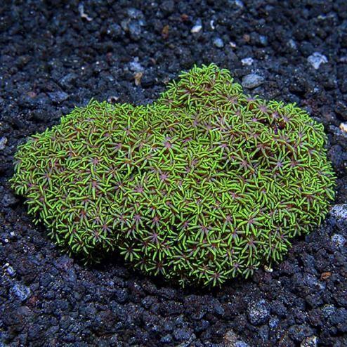 Metallic Green Starbust Polyp (Briareum sp.)