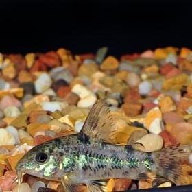 Peppered Corydoras Catfish (Corydoras paleatus)