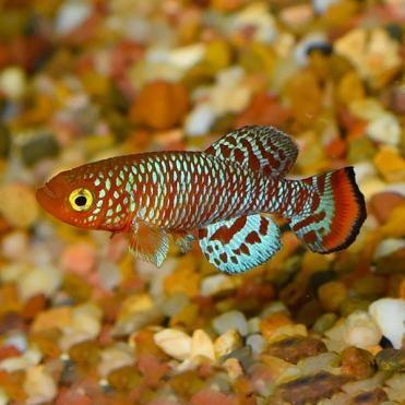 4. Rachovi Killifish (Nothobranchius rachovii)