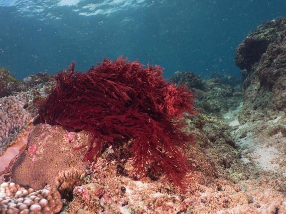 Red Gracilaria Algae (Gracilaria sp.)