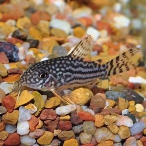 Sterba's Corydoras Catfish (Corydoras sterbai)