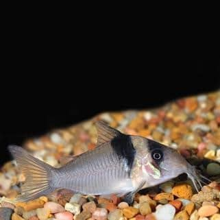 Virginiae Corydoras Catfish (Corydoras virginiae)