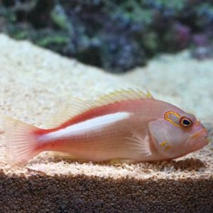 Arc Eye Hawkfish (Paracirrhitus arcuatus)