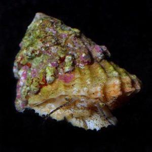Astraea Turbo Snail (Astraea tecta)