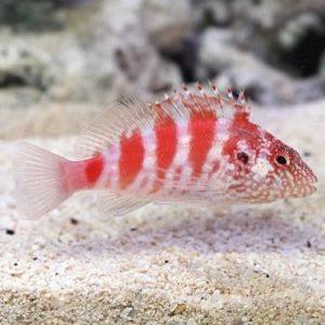 Blood Red Hawkfish (Cirrhitops fasciatus)