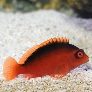 Flame Hawkfish (Neocirrhites armatus)