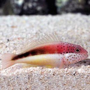 Freckled Hawkfish (Paracirrhites forsteri)