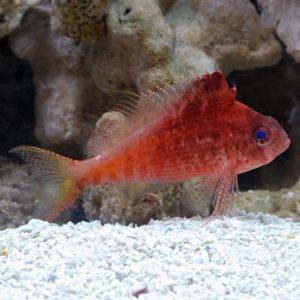 Red Hawkfish (Cyprinocirrhites polyactis)