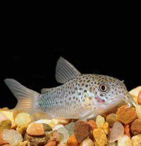 Similis Corydoras Catfish (Corydoras similis)