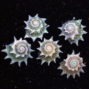 Spiny Star Astraea (Astraea phoebia)