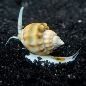 Super Tongan Nassarius Snail (Nassarius sp.)
