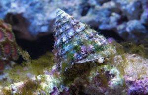 Turban Snail (Tectus fenestratus)
