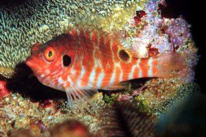 Two Spot Hawkfish (Amblycirrhites bimacula)