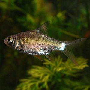 tinfoil Red Tail Barb (Barbus schwanefeldi)