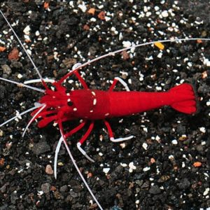 Blood Red Fire Shrimp (Lysmata debelius)