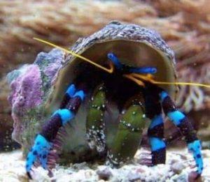 Electric Blue Hermit Crab (Calcinus elegans)