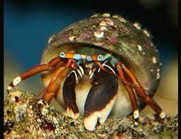 Electric Orange Hermit Crab (Calcinus cf elegans)