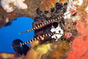 Negros Pipefish (Doryrhamphus negrosensis)