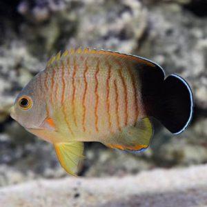 Red Stripe Angelfish (Centropyge eibli)